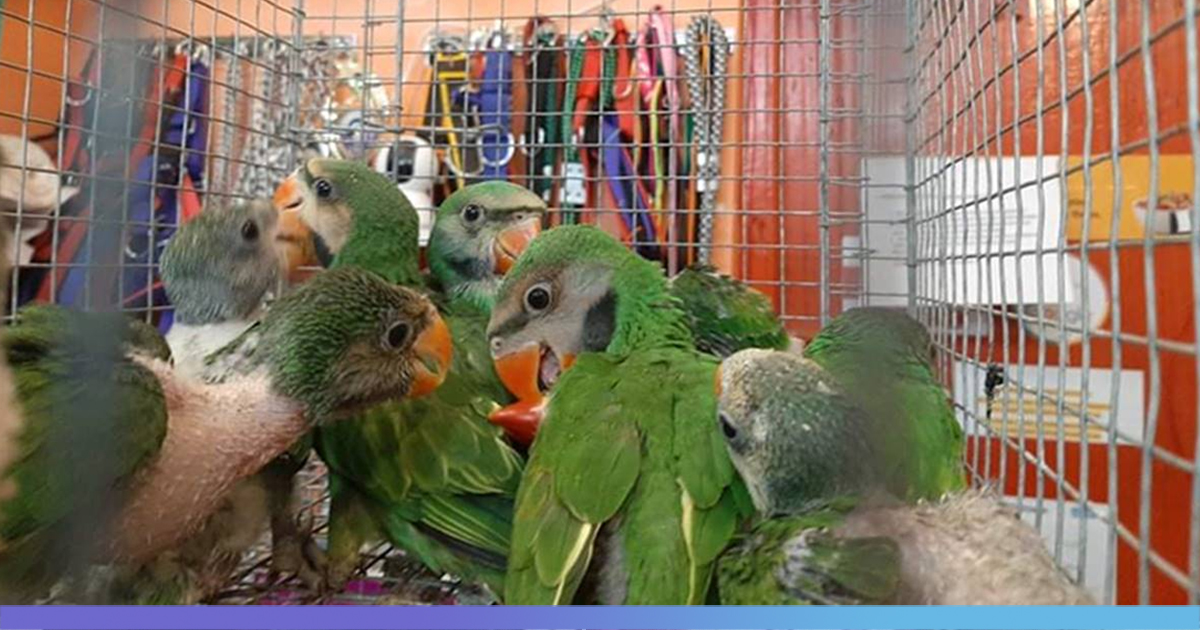 Wildlife Smuggling Racket Busted In Tripura, Baby Parrots, Hill Mynahs Rescued