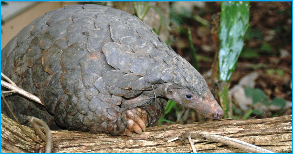 On Endangered Species Day, The Indian Pangolin Is What Indians Should Be Worried About