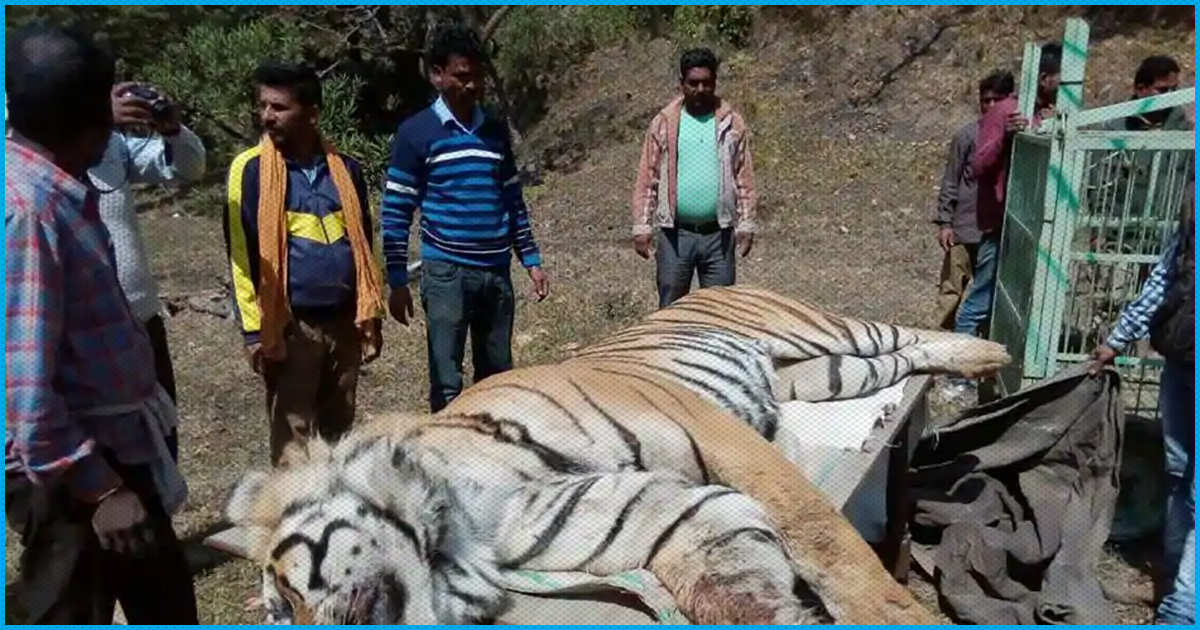 UP: Villagers Purposefully Crush Tigress With Tractor, Beat Her With Sticks Until She Bled To Death