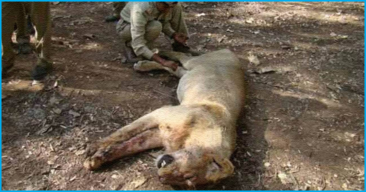 Gujarat: Three Asiatic Lions Killed By Train; At Least 35 Deaths In Three Months