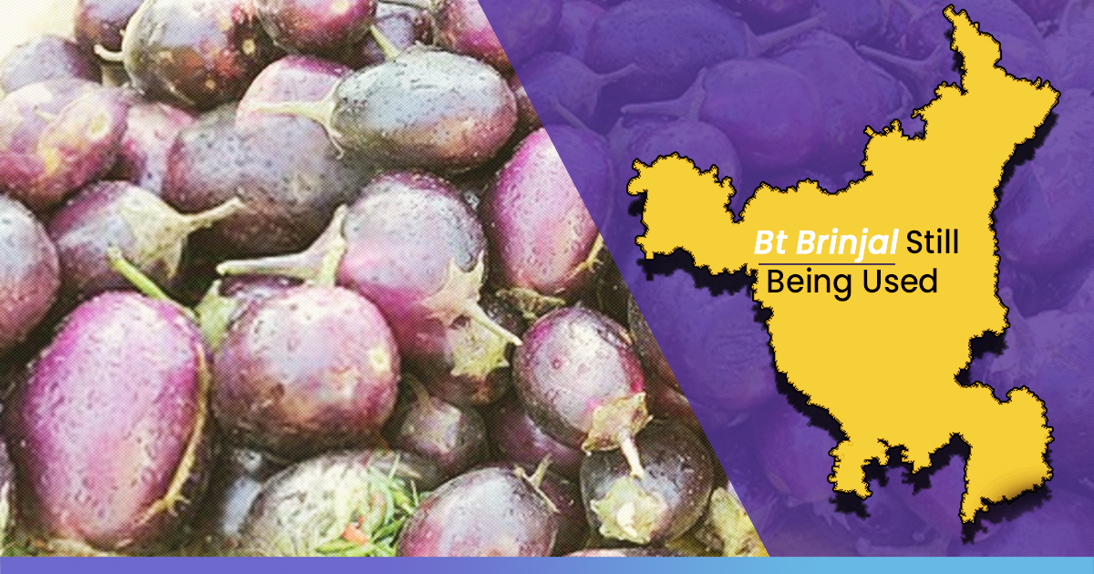 Nine Years After Ban, Bt Brinjal Still Being Used In Haryana