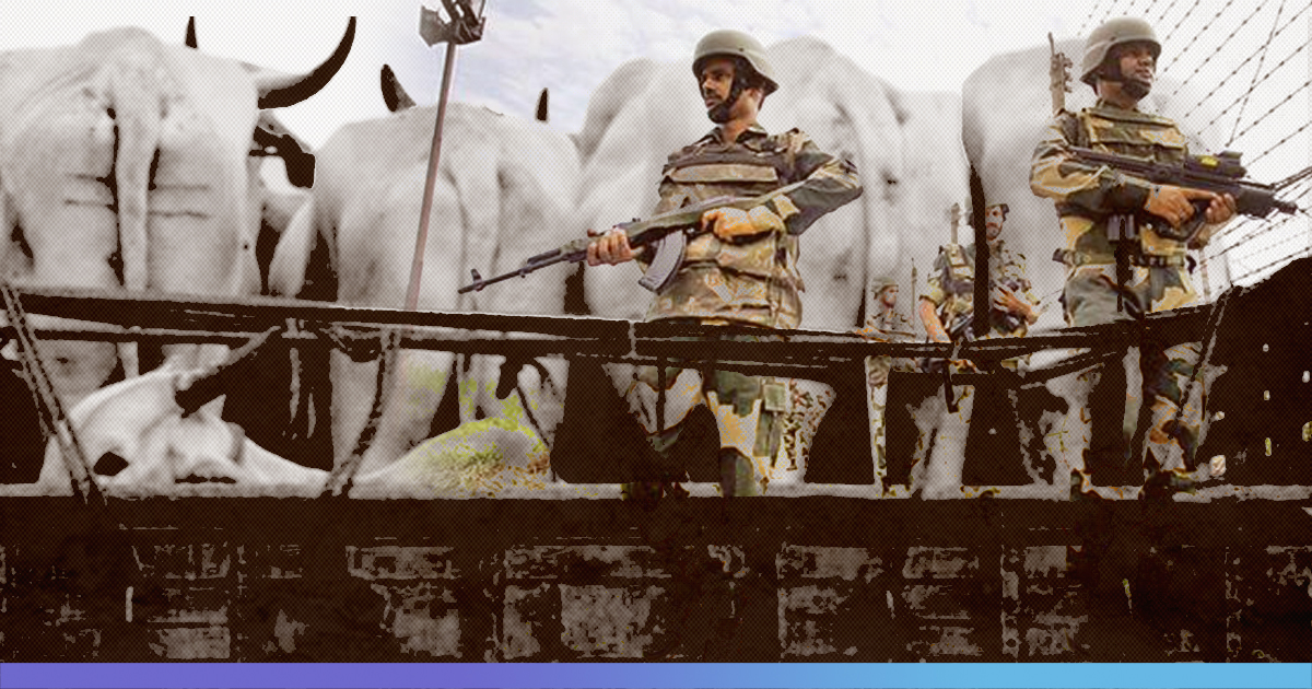 Cattle Smuggling: BSF Recovers Cattle With Crude Bombs On Neck; 365 Cattle Seized In Two Days