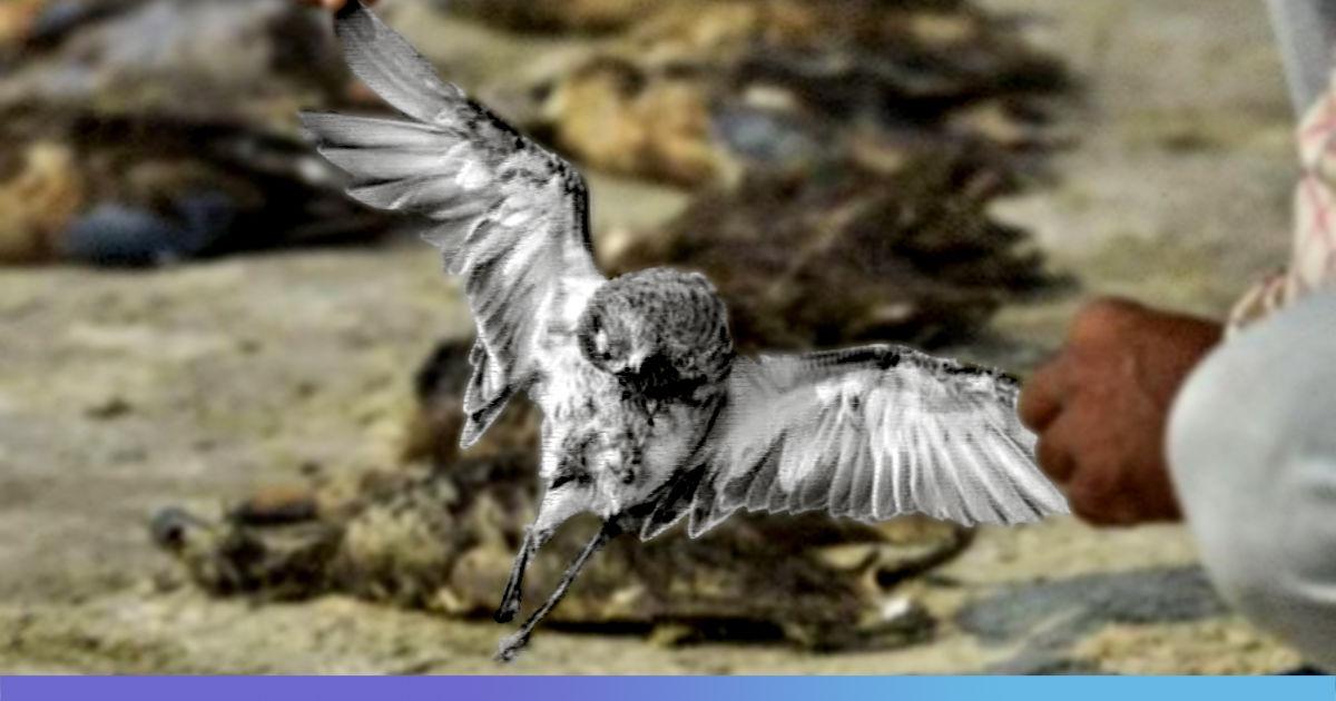 Bacterial Disease Behind 17,000 Migratory Birds Death At Rajasthan's Sambhar Lake