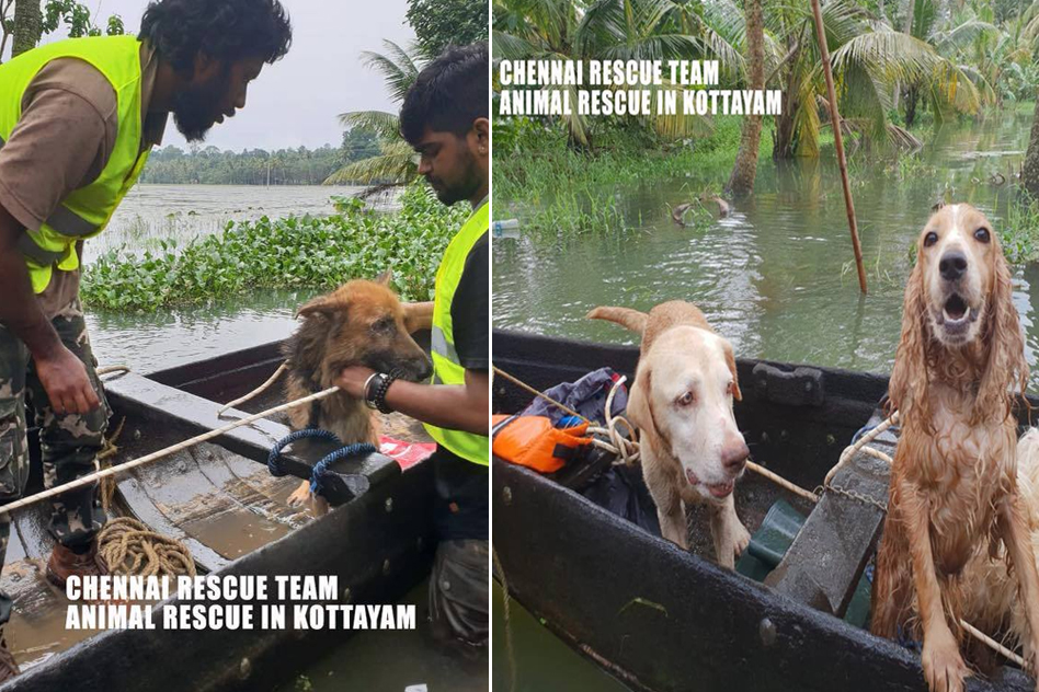 Chennai Group Rescues Hundreds Of Stranded Animals In Kerala, Risking Own Lives