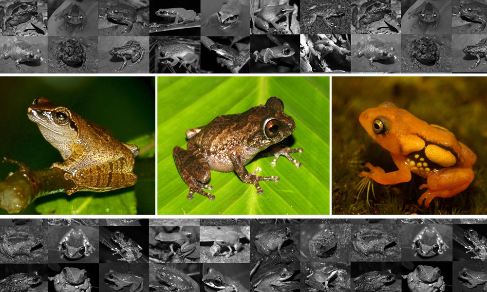 Zoological Survey Of India Lists 20 Species Of Amphibians As Critically Endangered