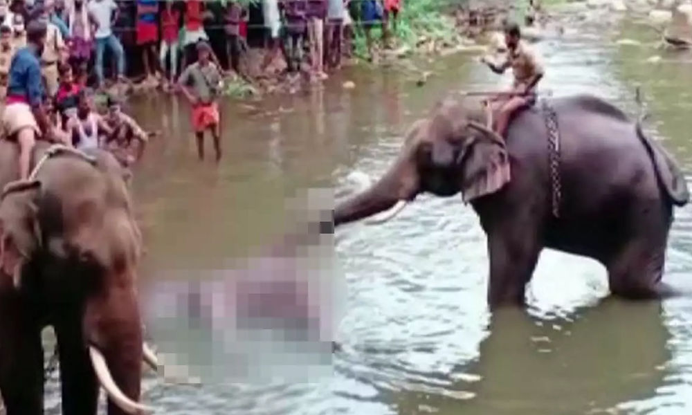 Was Pregnant Elephant Deliberately Offered Pineapple Stuffed With Firecrackers?