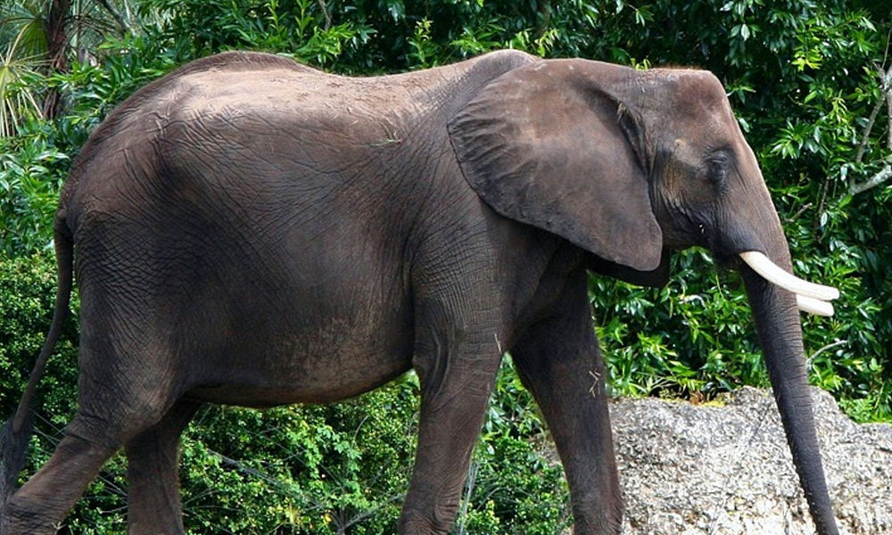 Another Elephant Found Dead In Kerala, Could Have Died From Cracker-Filled Food