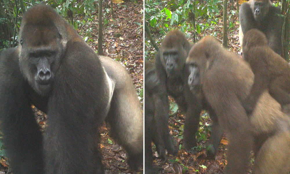 Once Thought Extinct, Worlds Rarest Gorillas Spotted With Babies In Nigeria