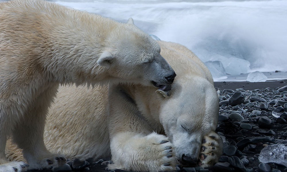 Polar Bears May Go Extinct By 2100 Due To Global Warming: Study