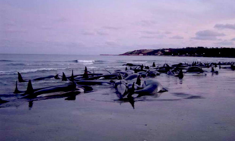 Australia: At Least 90 Whales Dead, Nearly 200 Stranded In Tasmanias Macquarie Harbour