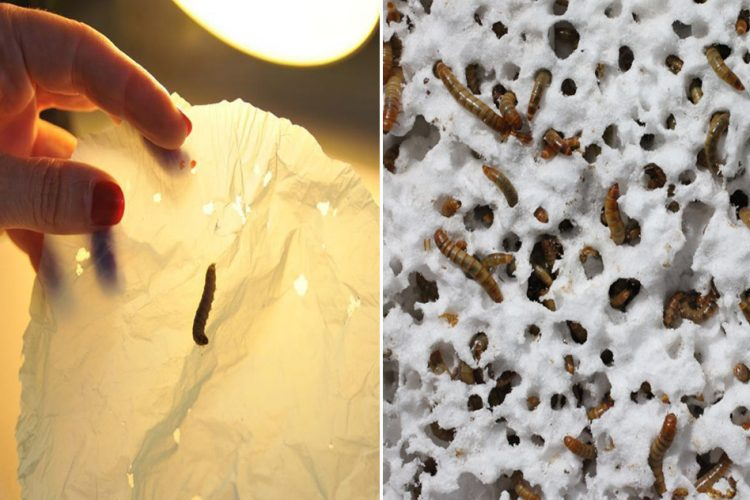 Plastic Eating Wax Worms