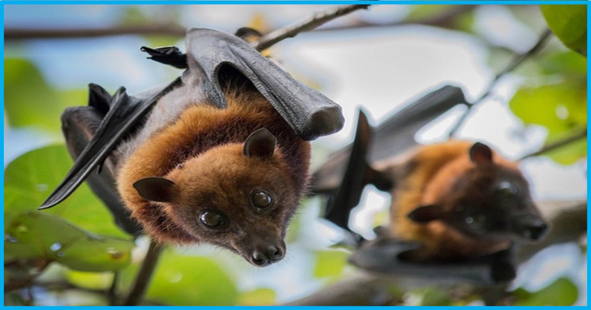 Nipah Virus Did Not Spread Through Bats; Bihar, Sikkim Issue Advisory: Reports