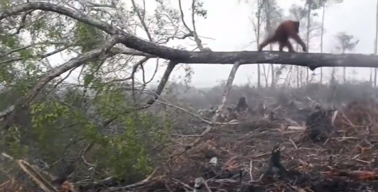 Orangutan Tries To Fight Of A Bulldoge