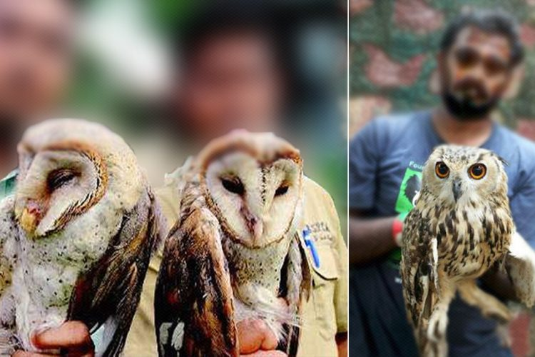 Indian Owls Scarified