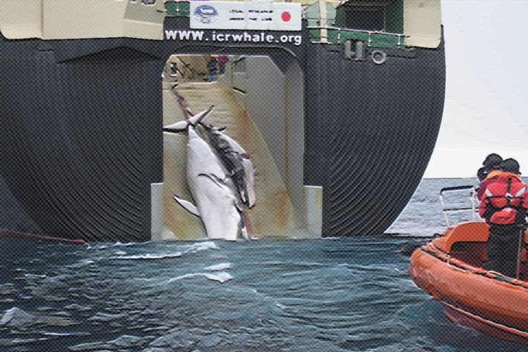 Japan Says Own Whalers Unhappy With Plan to Resume Hunts